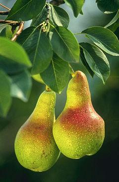 pic low-hanging-fruit1